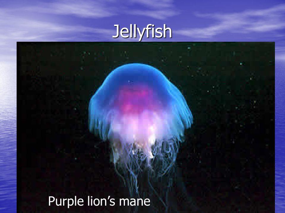 Jellyfish Purple lion's mane