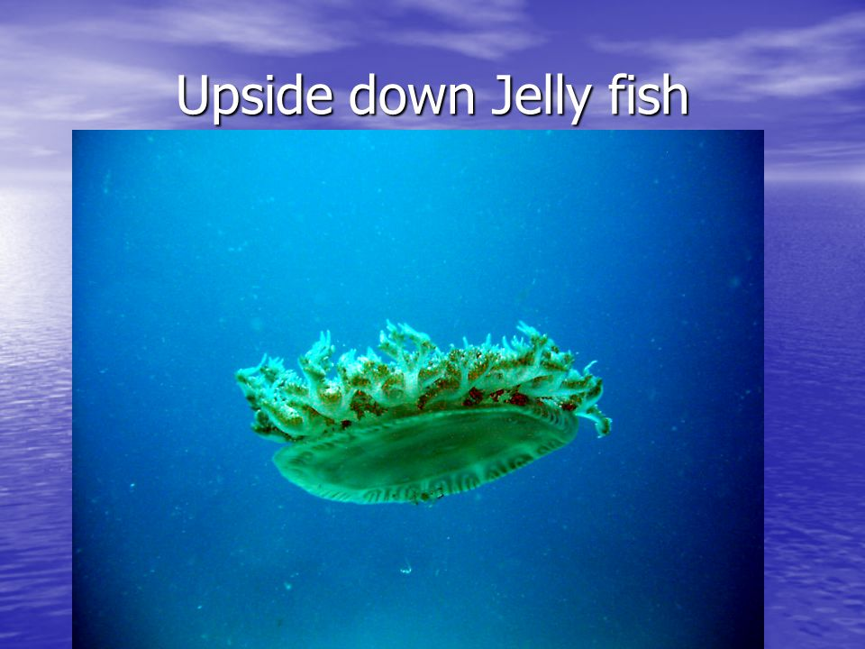 Upside down Jelly fish