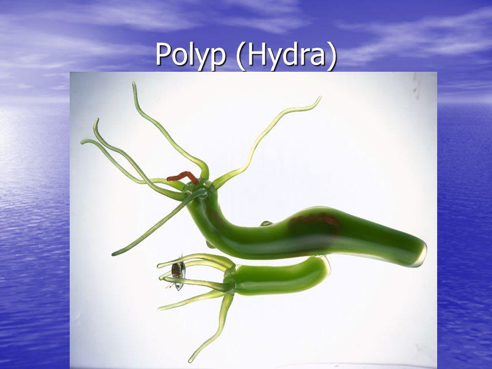 Polyp (Hydra)