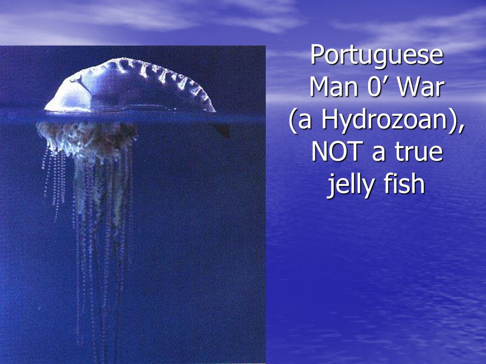 Portuguese Man 0' War (a Hydrozoan), NOT a true jelly fish