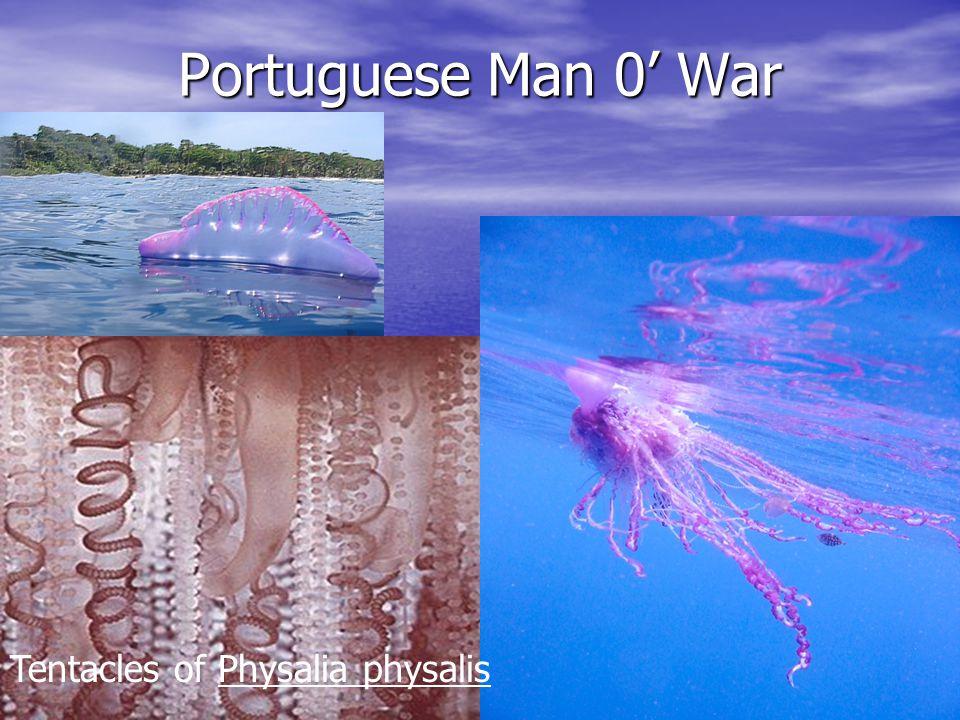 Portuguese Man 0' War Tentacles of Physalia physalis