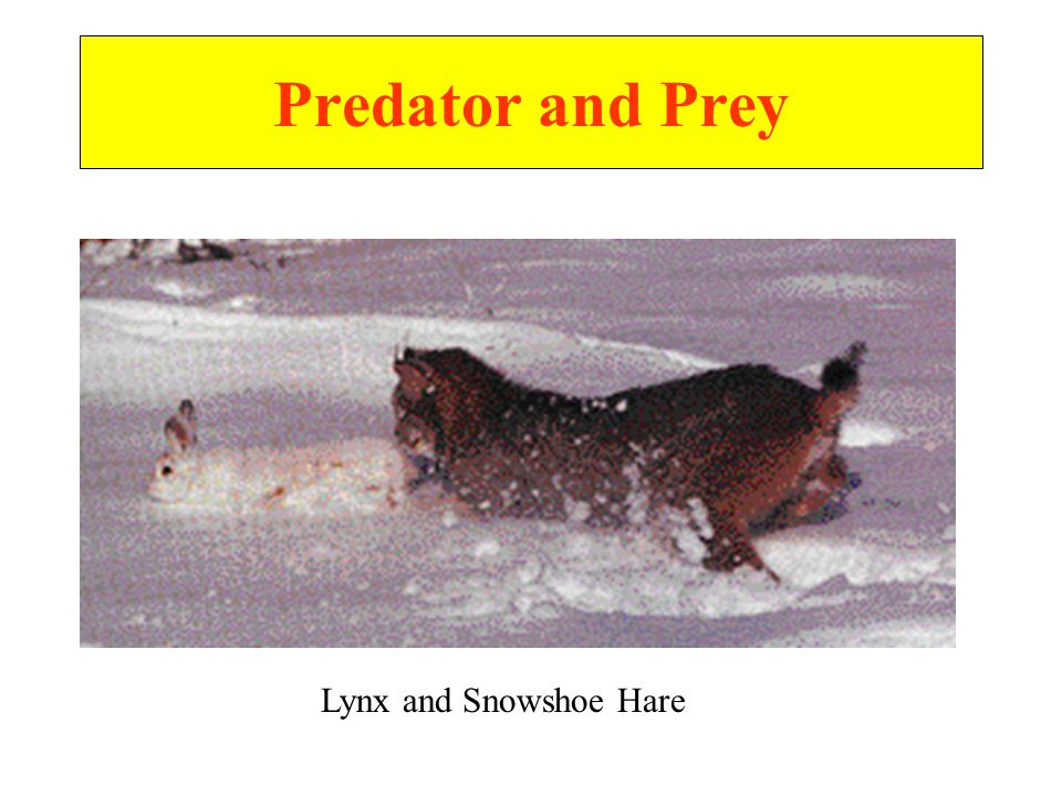 Predator and Prey Lynx and Snowshoe Hare