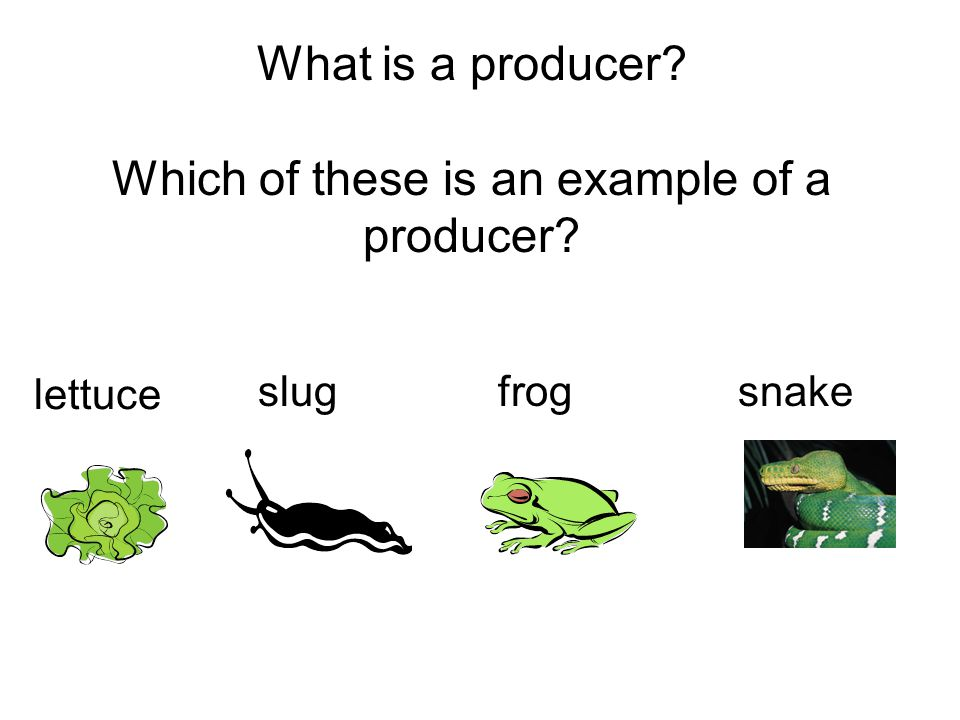 What is a producer? Which of these is an example of a producer? lettuce snakeslugfrog