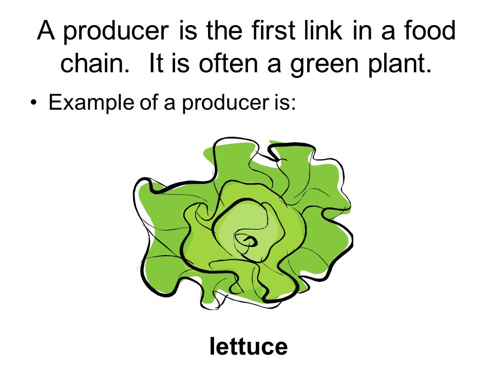 A producer is the first link in a food chain. It is often a green plant.
