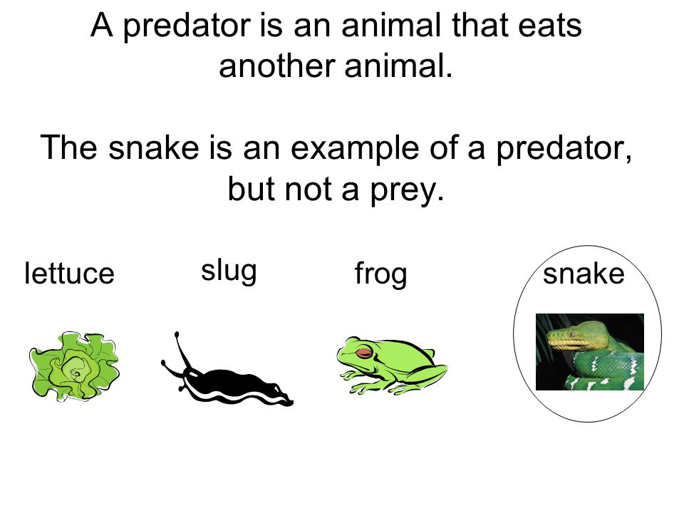 A predator is an animal that eats another animal. The snake is an example of a predator, but not a prey. lettucesnake slug frog