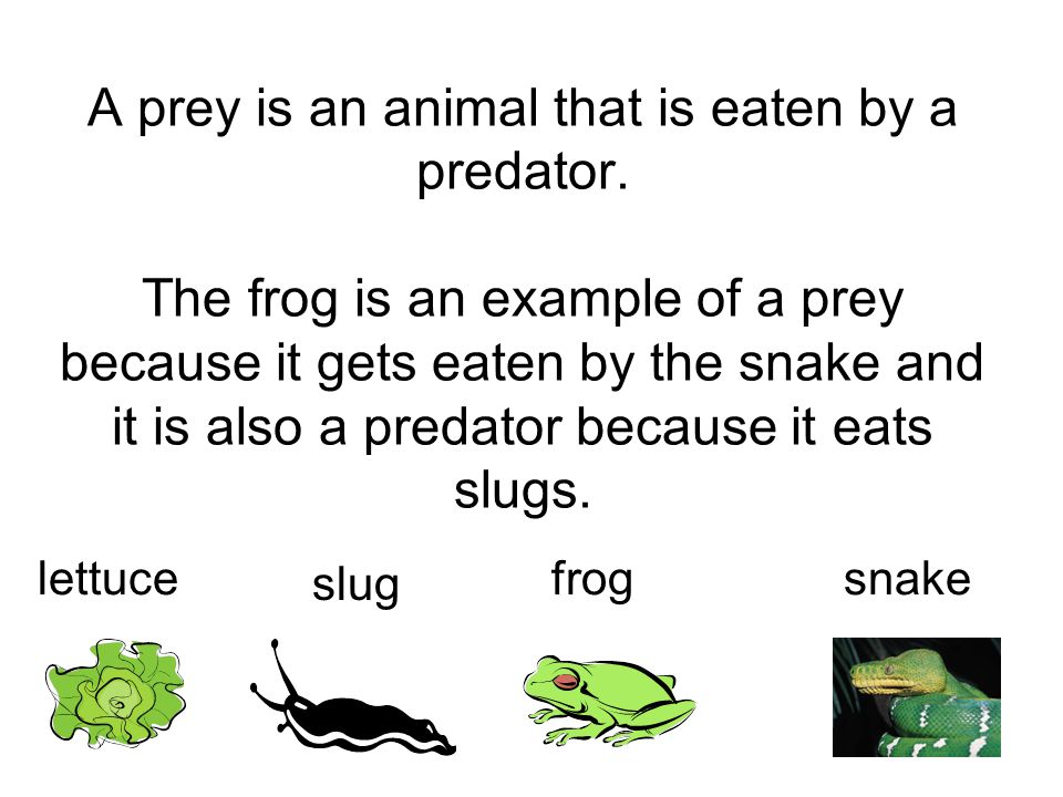 A prey is an animal that is eaten by a predator. The frog is an example of a prey because it gets eaten by the snake and it is also a predator because
