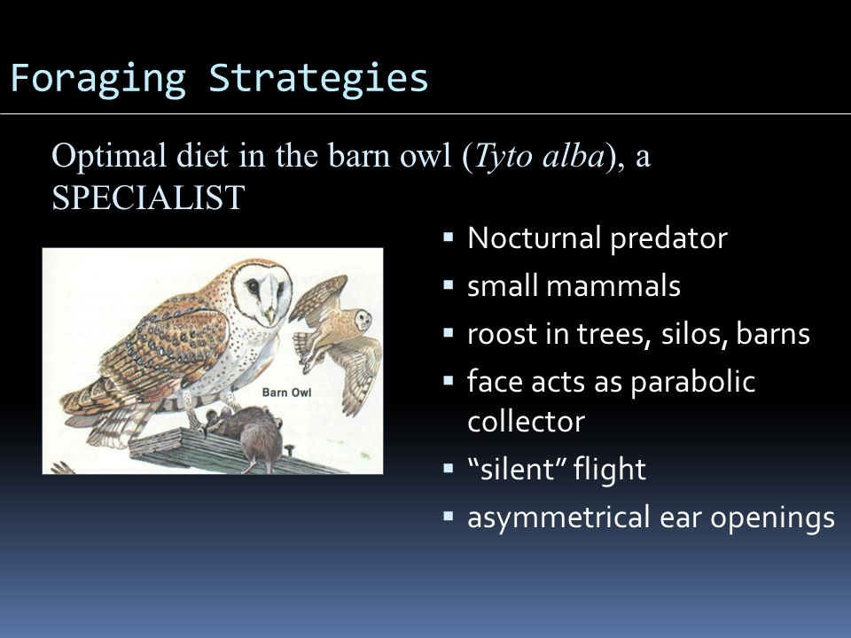 "Foraging Strategies  Nocturnal predator  small mammals  roost in trees, silos, barns  face acts as parabolic collector  ""silent"" flight  asymmet"