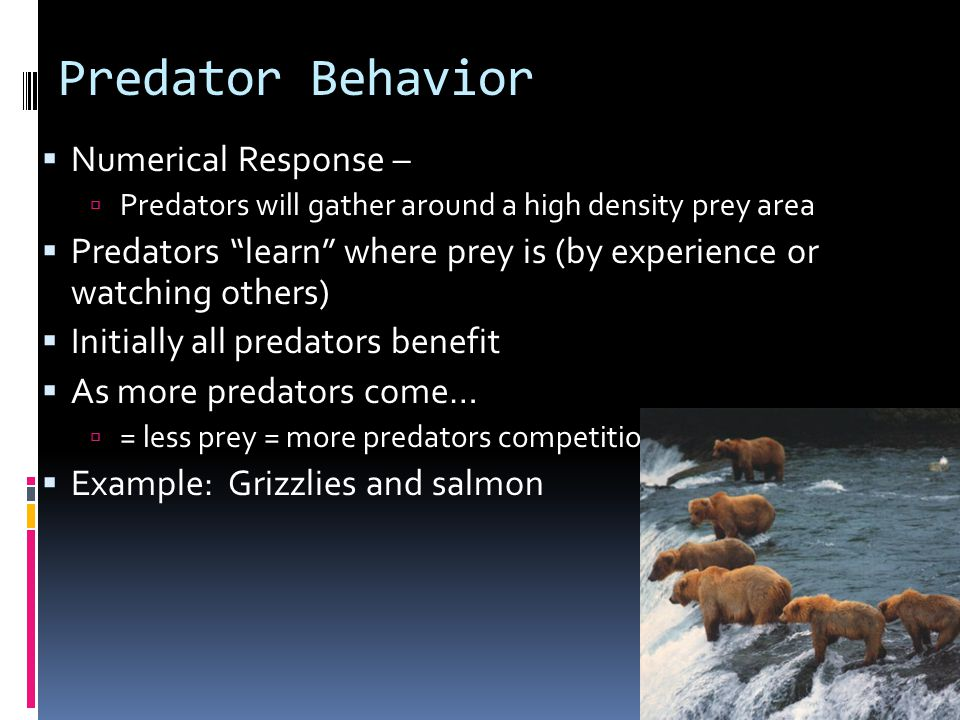 Predator Behavior  Numerical Response –  Predators will gather around a high density prey area  Predators learn where prey is (by experience or watching others)  Initially all predators benefit  As more predators come…  = less prey = more predators competition  Example: Grizzlies and salmon