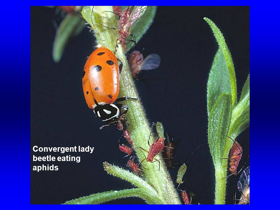 Convergent lady beetle eating aphids