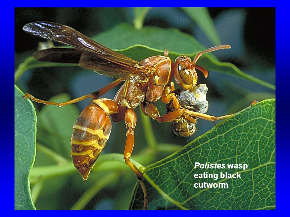 Polistes wasp eating black cutworm