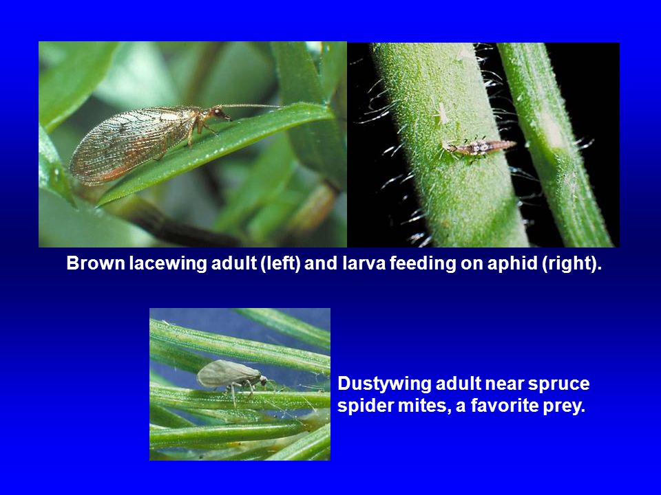 Brown lacewing adult (left) and larva feeding on aphid (right). Dustywing adult near spruce spider mites, a favorite prey.