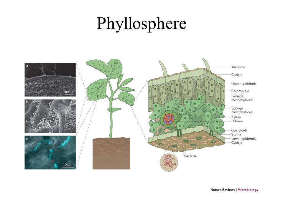 Phyllosphere