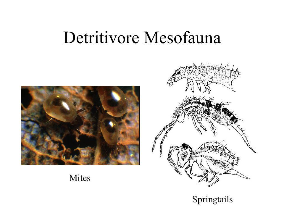 Detritivore Mesofauna Mites Springtails