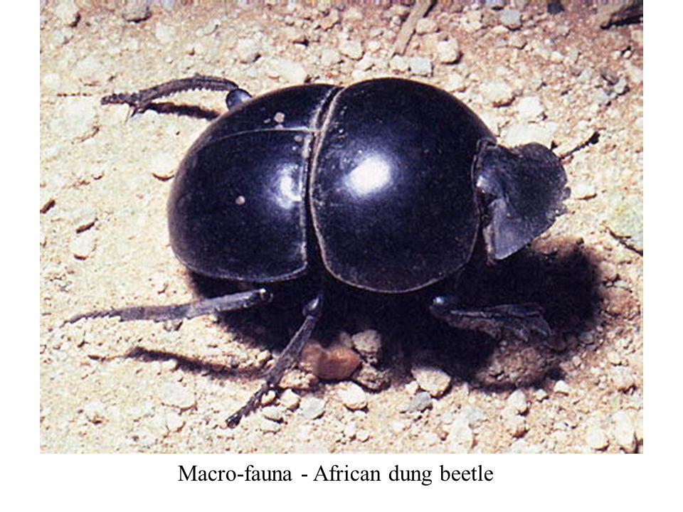 Macro-fauna - African dung beetle