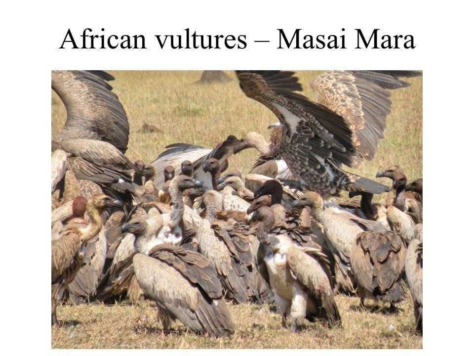 African vultures – Masai Mara