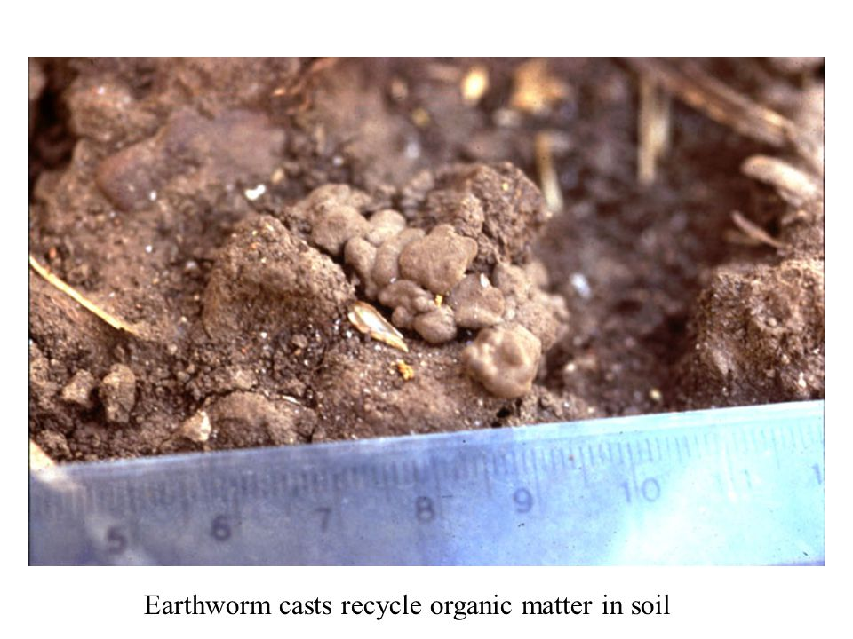Earthworm casts recycle organic matter in soil