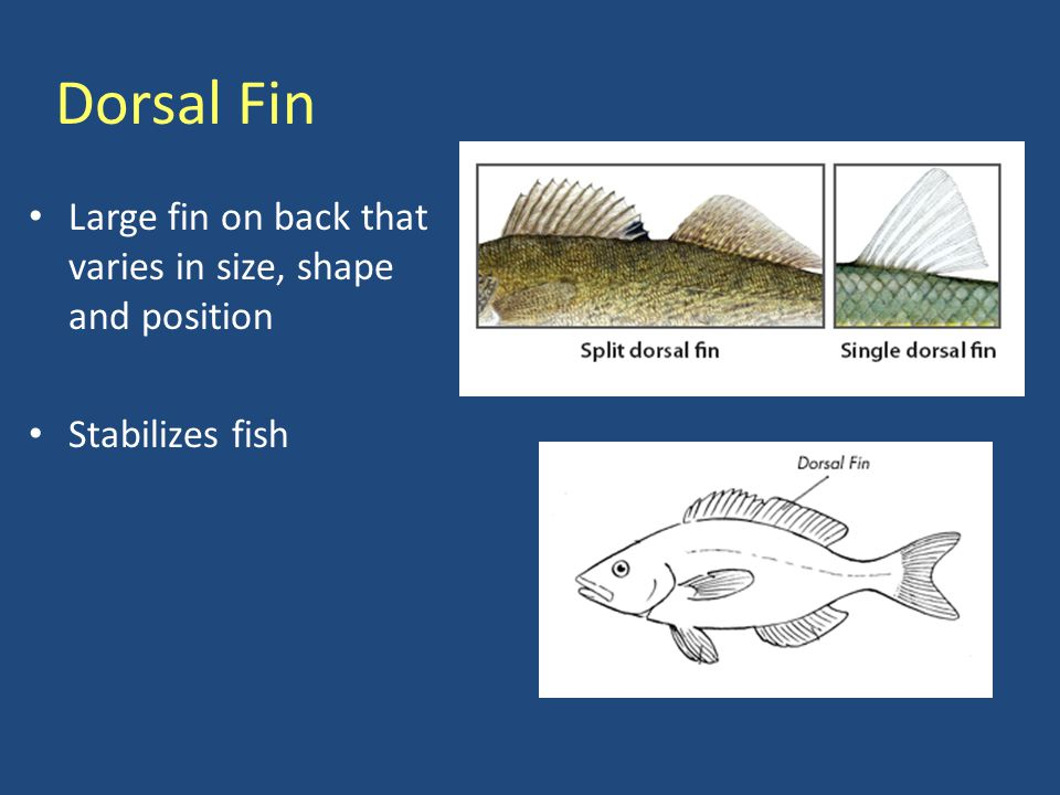 Pectoral & Pelvic Fin Pectoral Fins: Located on side of body – Used for steering & locomotion Pelvic Fins: Located on belly or under pectoral fins – Function in stabilizing & braking