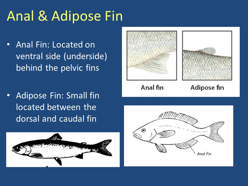 Caudal Fin Caudal Fin: Tail fin that varies in shape, affecting the fish's speed and buoyancy Used for propulsion