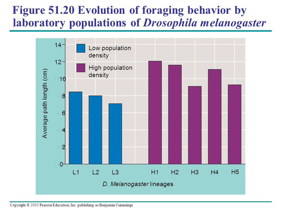Copyright © 2005 Pearson Education, Inc. publishing as Benjamin Cummings Figure 51.20 Evolution of foraging behavior by laboratory populations of Dros