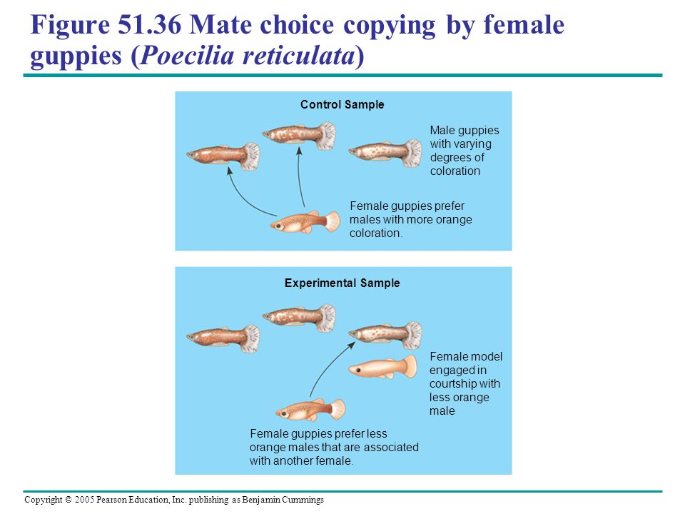 Copyright © 2005 Pearson Education, Inc. publishing as Benjamin Cummings Figure 51.36 Mate choice copying by female guppies (Poecilia reticulata) Male