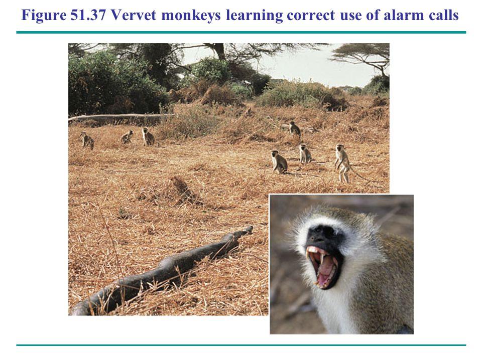 Figure 51.37 Vervet monkeys learning correct use of alarm calls