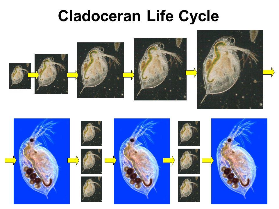 Cladoceran Life Cycle