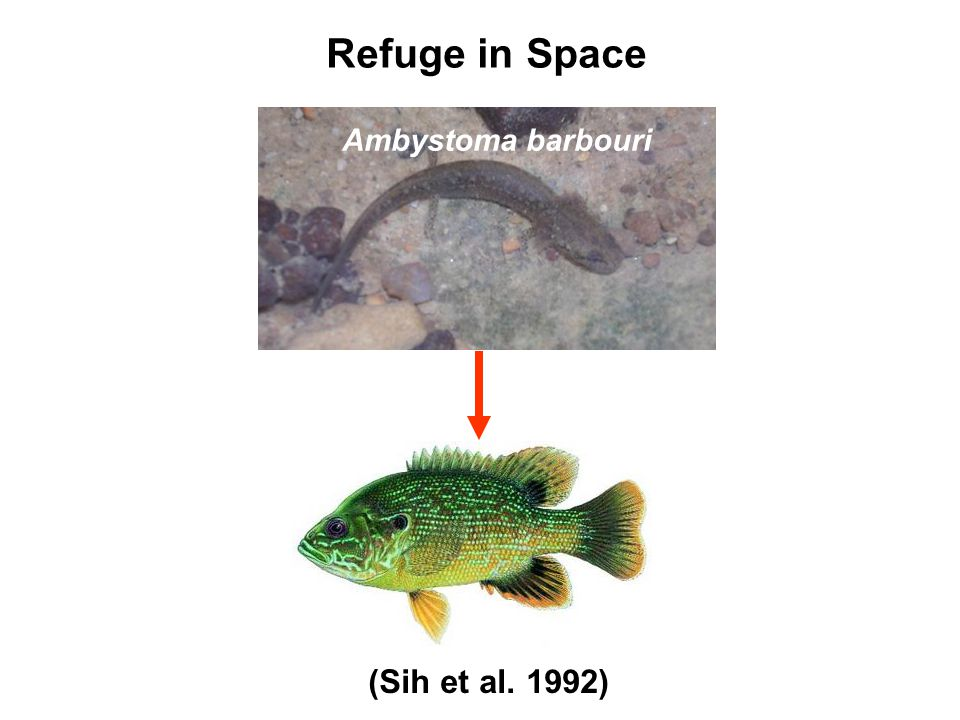 Refuge in Space (Sih et al. 1992) Ambystoma barbouri