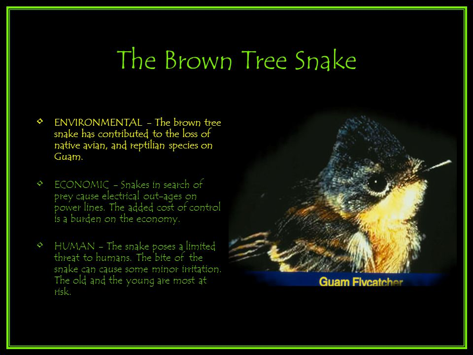 The Brown Tree Snake ENVIRONMENTAL - The brown tree snake has contributed to the loss of native avian, and reptilian species on Guam.
