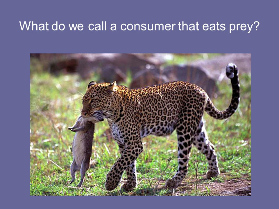 What do we call a consumer that eats prey
