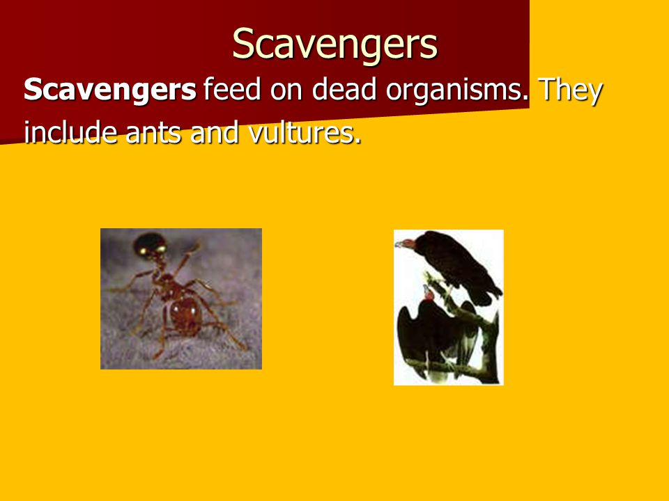 Scavengers Scavengers feed on dead organisms. They include ants and vultures.