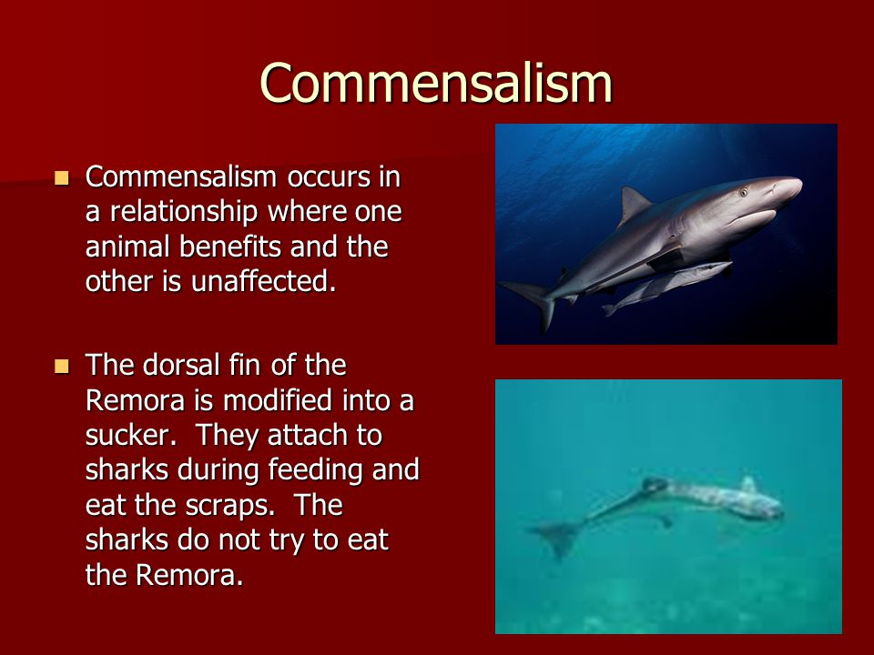 Commensalism Commensalism occurs in a relationship where one animal benefits and the other is unaffected.