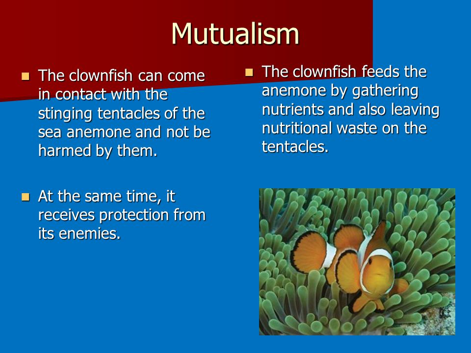 Mutualism The clownfish can come in contact with the stinging tentacles of the sea anemone and not be harmed by them.