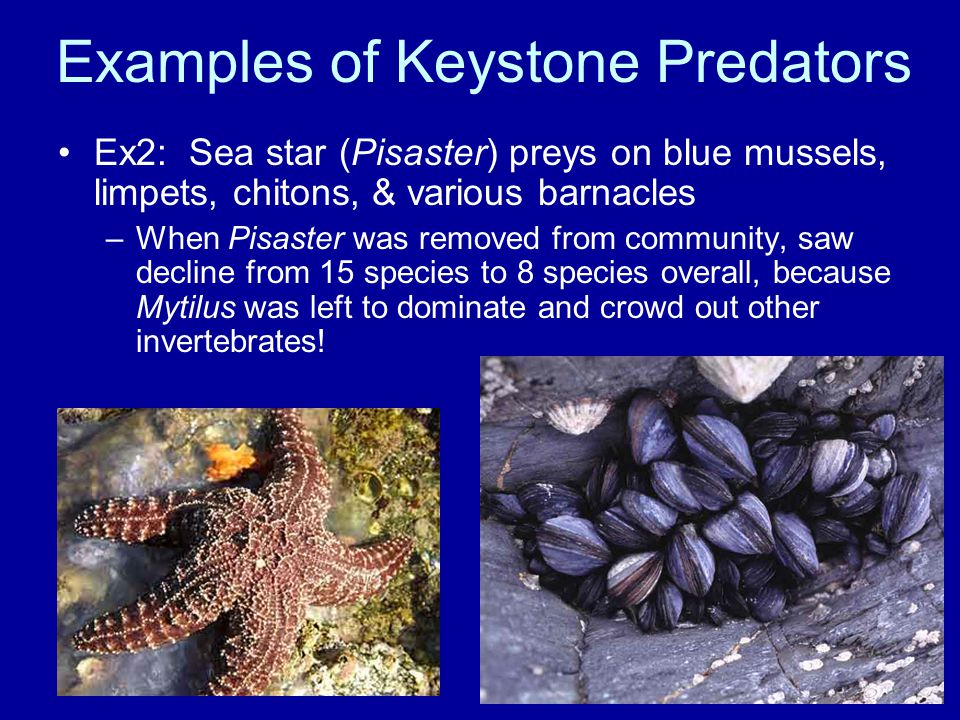 Examples of Keystone Predators Ex2: Sea star (Pisaster) preys on blue mussels, limpets, chitons, & various barnacles –When Pisaster was removed from community, saw decline from 15 species to 8 species overall, because Mytilus was left to dominate and crowd out other invertebrates!
