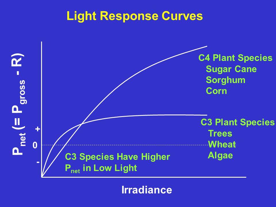 Light Response Curves Irradiance P net (= P gross - R) 0 - + C4 Plant Species Sugar Cane Sorghum Corn C3 Plant Species Trees Wheat Algae C3 Species Have Higher P net in Low Light