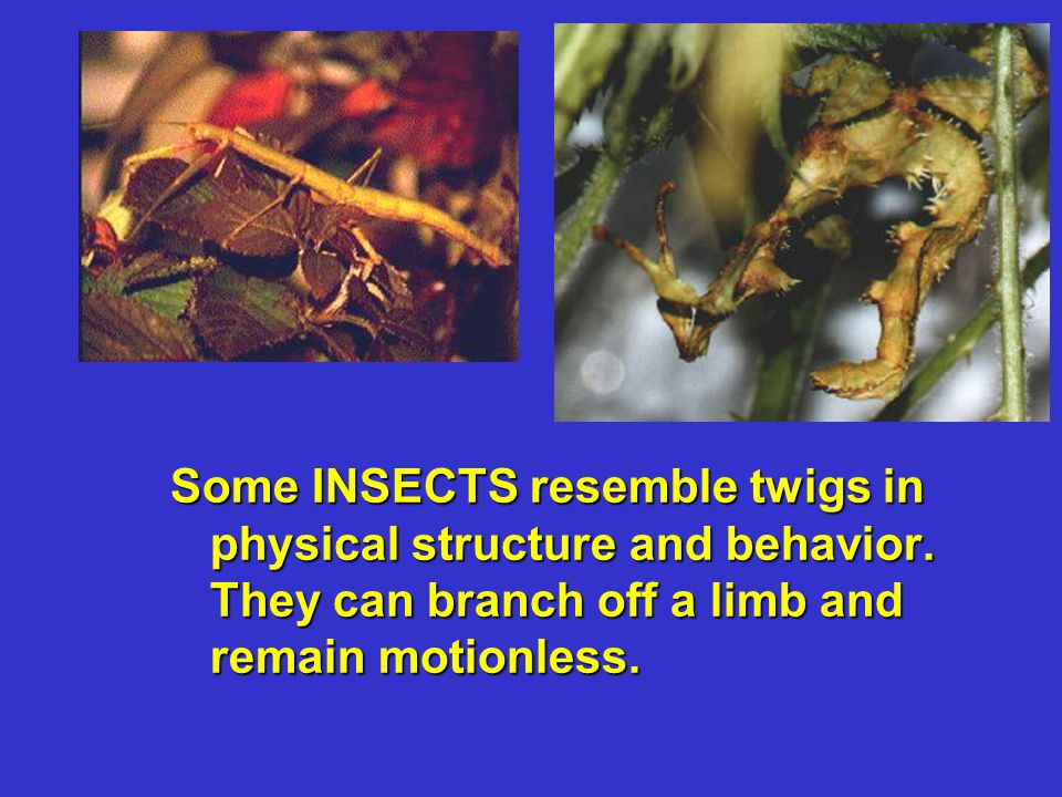 Some INSECTS resemble twigs in physical structure and behavior. They can branch off a limb and remain motionless.