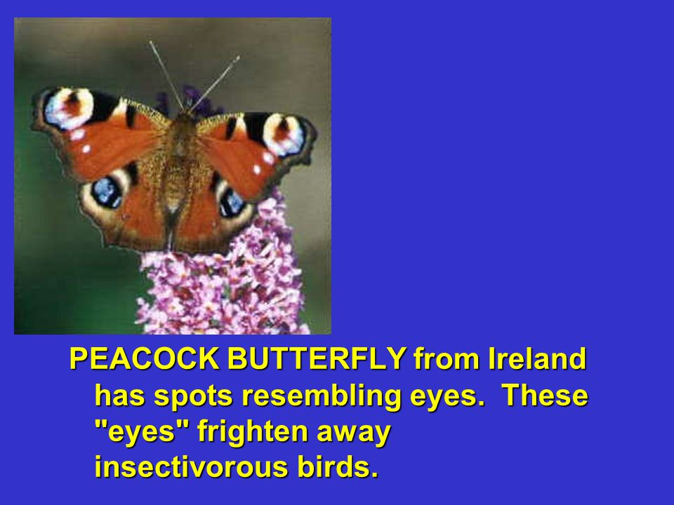 PEACOCK BUTTERFLY from Ireland has spots resembling eyes. These