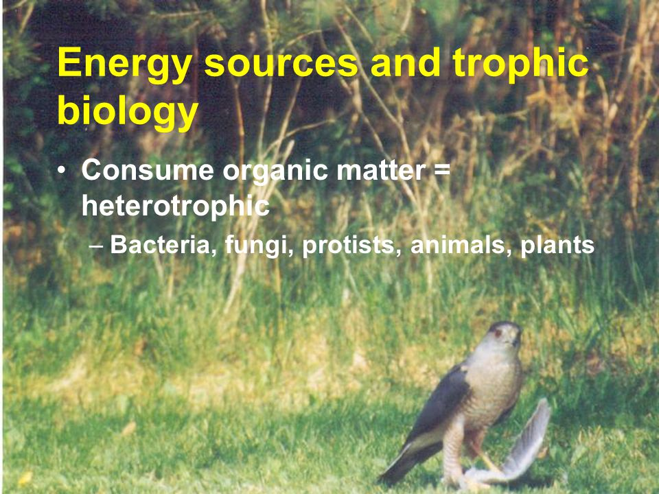 Consume organic matter = heterotrophic –Bacteria, fungi, protists, animals, plants Energy sources and trophic biology
