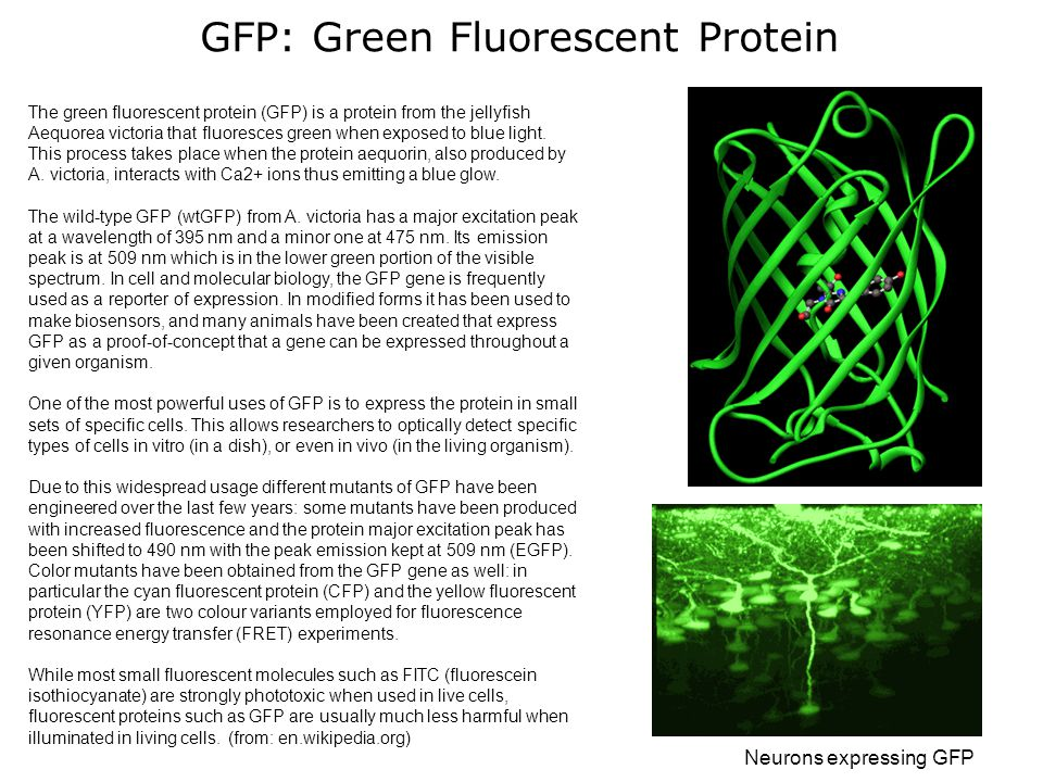 GFP: Green Fluorescent Protein The green fluorescent protein (GFP) is a protein from the jellyfish Aequorea victoria that fluoresces green when exposed to blue light.