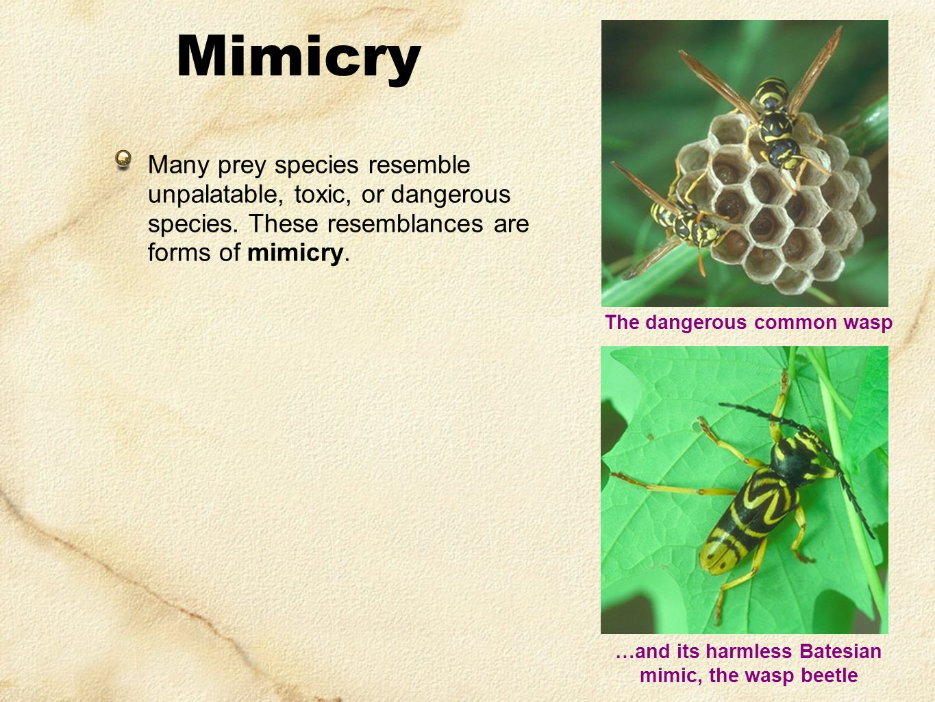 Many prey species resemble unpalatable, toxic, or dangerous species. These resemblances are forms of mimicry. Mimicry The dangerous common wasp …and i