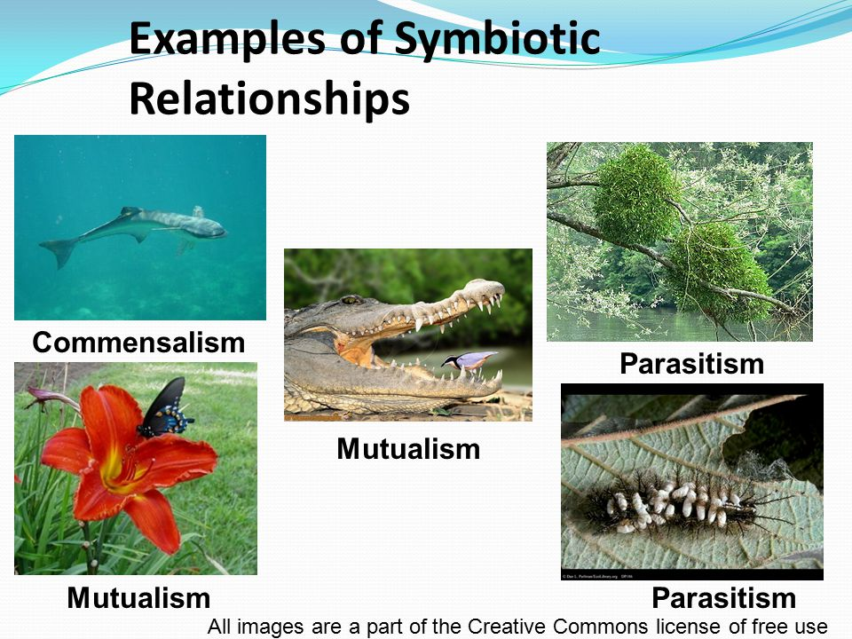 Examples of Symbiotic Relationships MutualismParasitism Commensalism Mutualism All images are a part of the Creative Commons license of free use