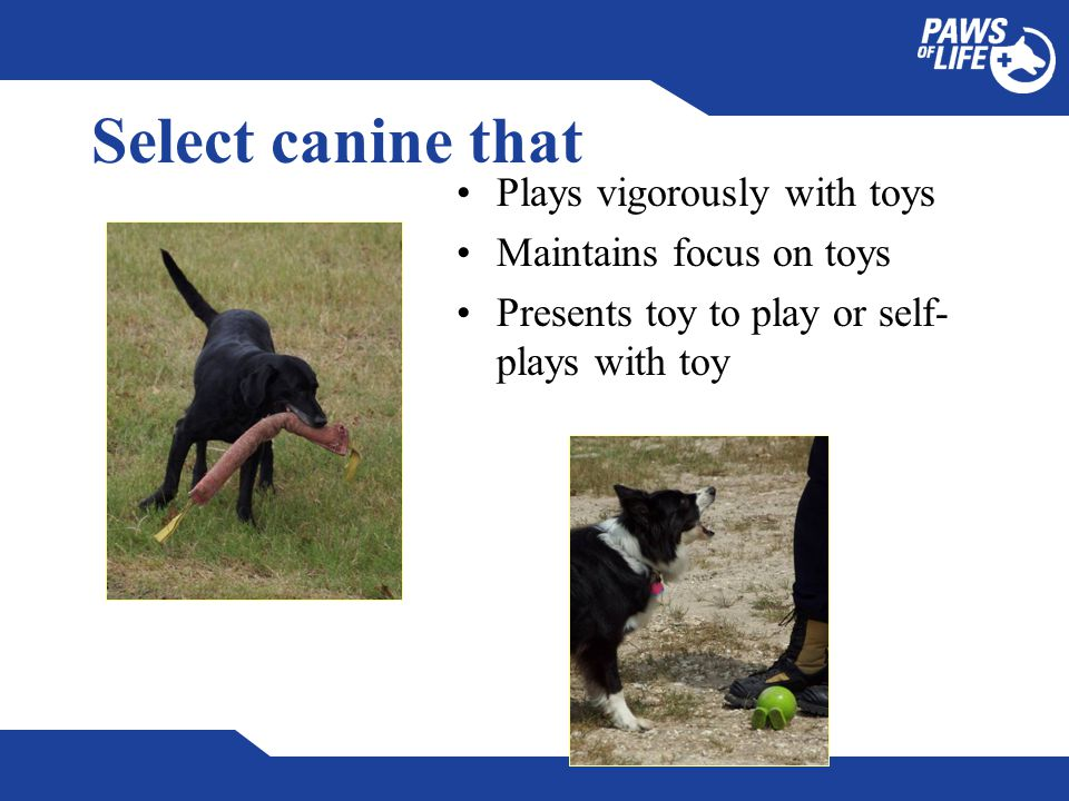 Select canine that Plays vigorously with toys Maintains focus on toys Presents toy to play or self- plays with toy