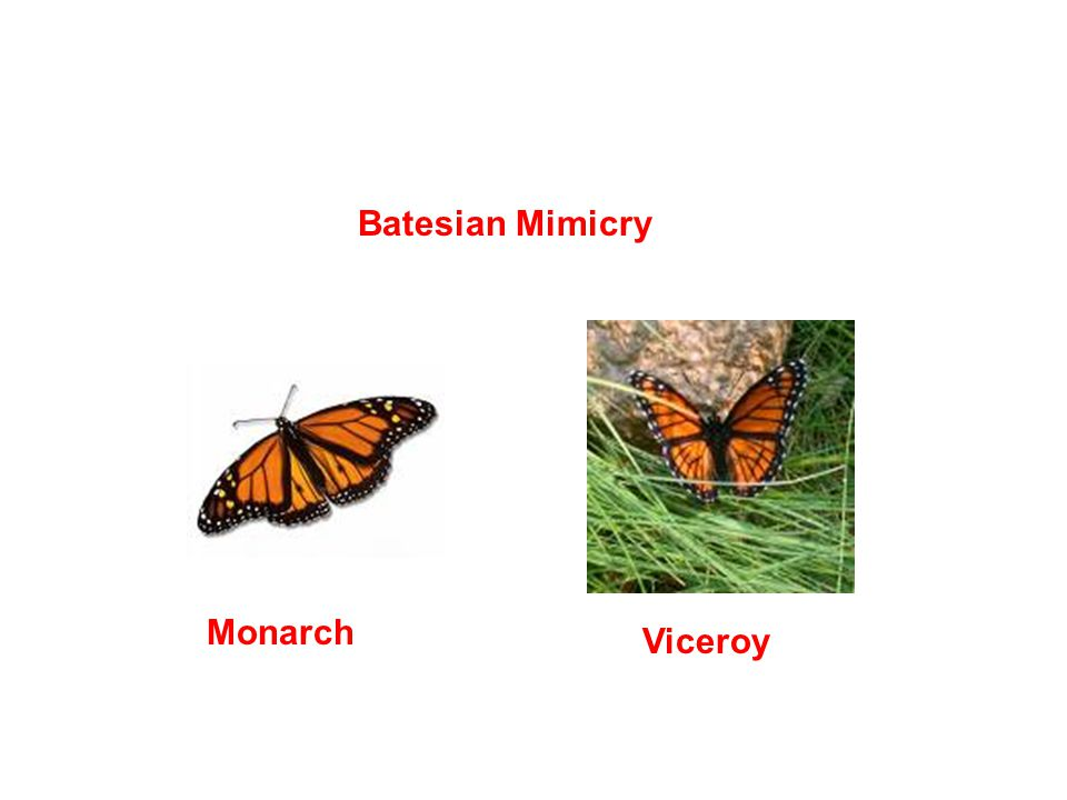 Batesian Mimicry Monarch Viceroy