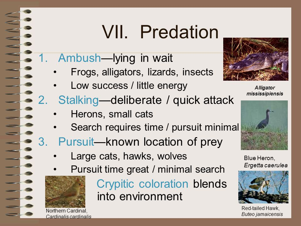VII. Predation 1.Ambush—lying in wait Frogs, alligators, lizards, insects Low success / little energy 2.Stalking—deliberate / quick attack Herons, sma