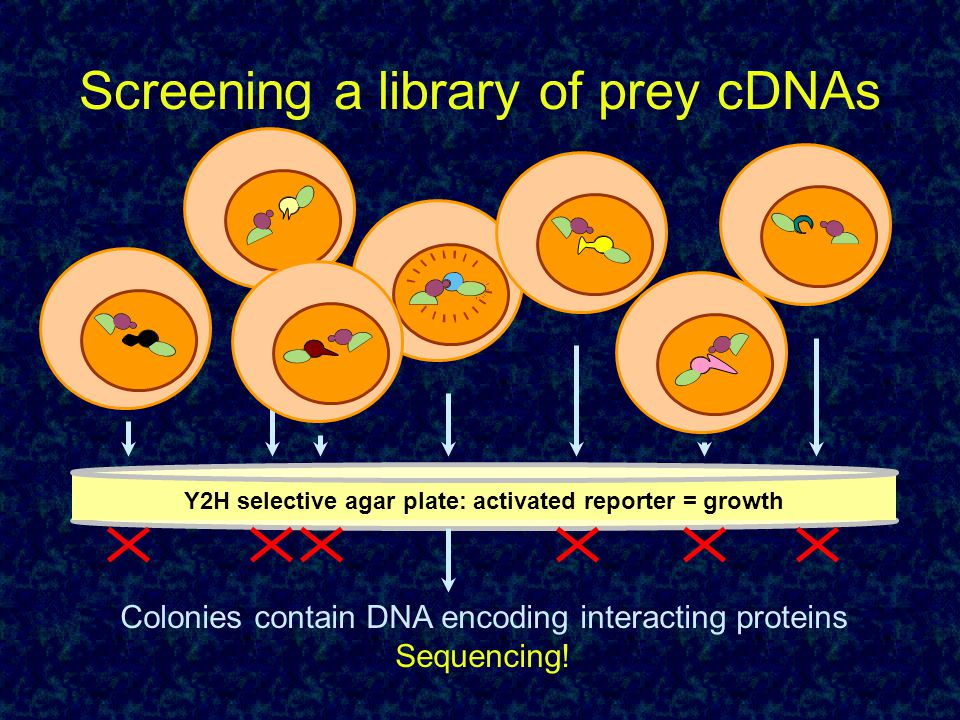 Screening a library of prey cDNAs Y2H selective agar plate: activated reporter = growth Colonies contain DNA encoding interacting proteins Sequencing!