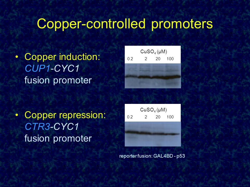 Copper-controlled promoters Copper induction: CUP1-CYC1 fusion promoter Copper repression: CTR3-CYC1 fusion promoter 0.2220100 CuSO 4 (µM) 0.2220100 CuSO 4 (µM) reporter fusion: GAL4BD - p53