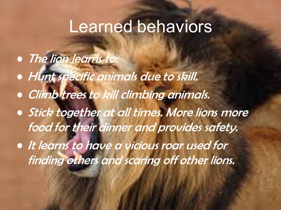 Learned behaviors The lion learns to: Hunt specific animals due to skill.
