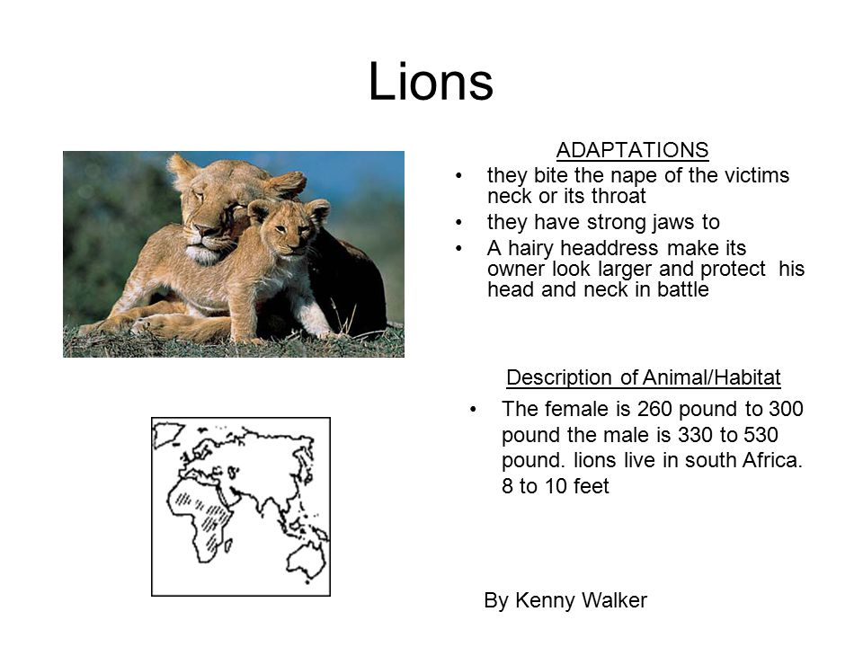 Lions ADAPTATIONS they bite the nape of the victims neck or its throat they have strong jaws to A hairy headdress make its owner look larger and prote