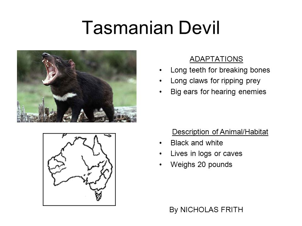 Tasmanian Devil ADAPTATIONS Long teeth for breaking bones Long claws for ripping prey Big ears for hearing enemies By NICHOLAS FRITH Description of An