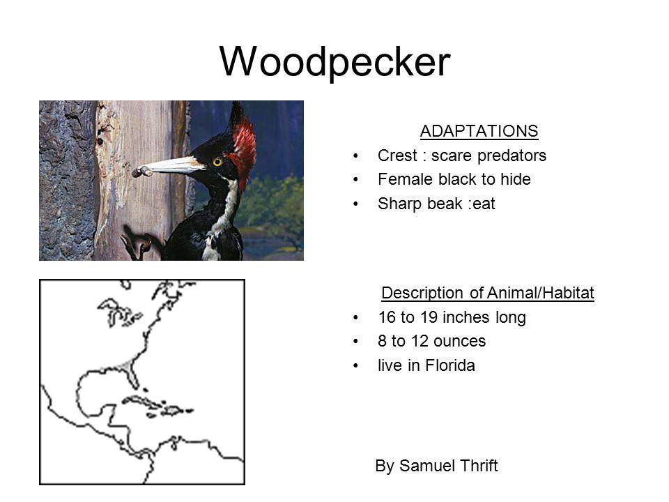 Woodpecker ADAPTATIONS Crest : scare predators Female black to hide Sharp beak :eat By Samuel Thrift Description of Animal/Habitat 16 to 19 inches lon