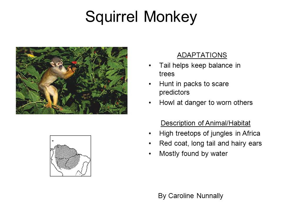 Squirrel Monkey ADAPTATIONS Tail helps keep balance in trees Hunt in packs to scare predictors Howl at danger to worn others By Caroline Nunnally Desc